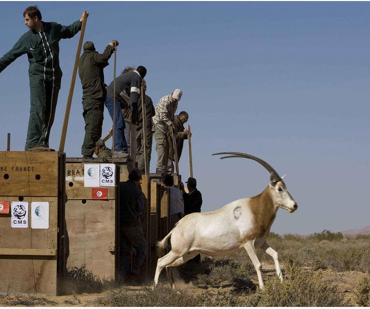 Les antilopes en Tunisie